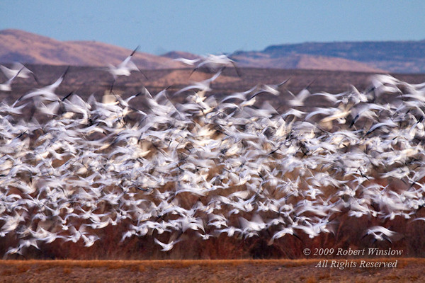 Snow Geese, Chen caerulescens, Bosque del Apache National Wildlife Refuge, New Mexico, USA, North America