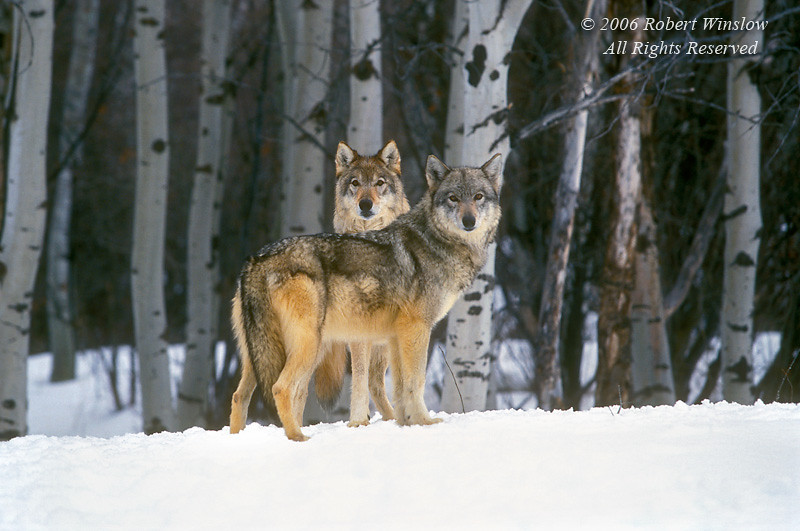 Two Gray Wolves (Canis lupus) with Snow and Aspen Trees, Controlled Conditions