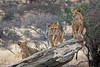 Three African Lion Cubs, Panthera leo, Samburu National Reserve, Kenya, Africa