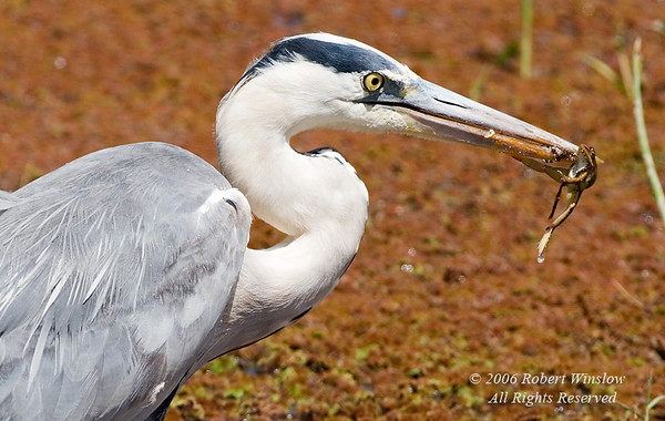 Grey Heron (Ardea c. cinerea) with a Frog in its Bill, Amboseli National Park, Kenya, Africa, Ciconiiformes Order, Ardeidae Family