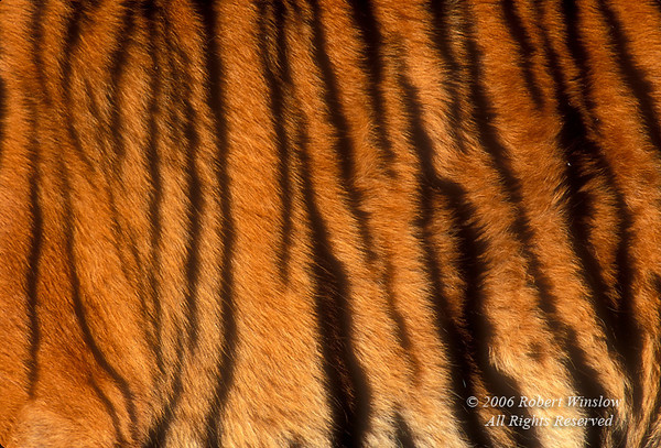 Detail of Stripes on a Live Tiger (Pantera tigris tigris), controlled conditions
