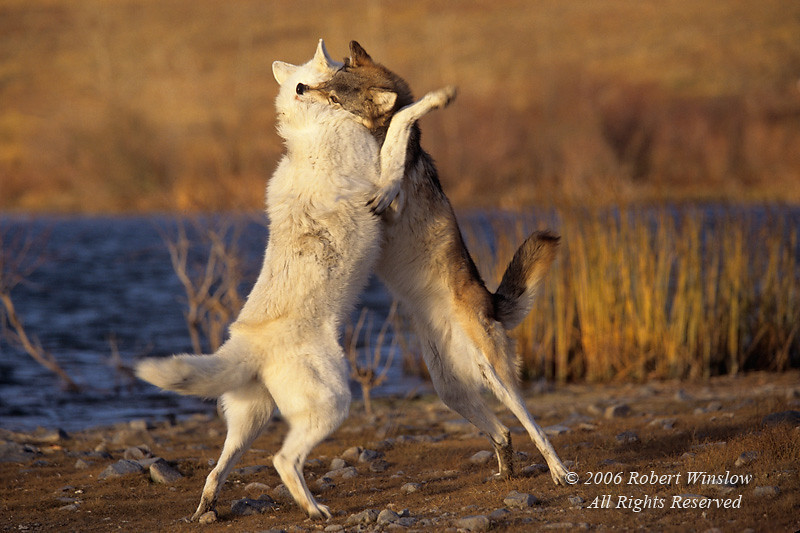 Two Wolves, Canis lupus, Fighting for Dominance, Controlled Conditions