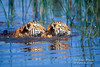 Two Twelve Week Old Bengal Tiger Cubs Swimming (Pantera tigris tigris), controlled conditions