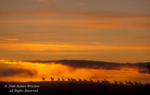 Herd of Pronghorn Antelope (Antilocarpa americana) at Sunset near Pinedale, Wyoming
