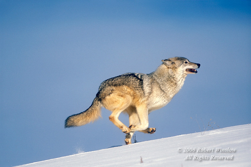 Gray Wolf (Canis lupus) Running Through Snow, Controlled Conditions
