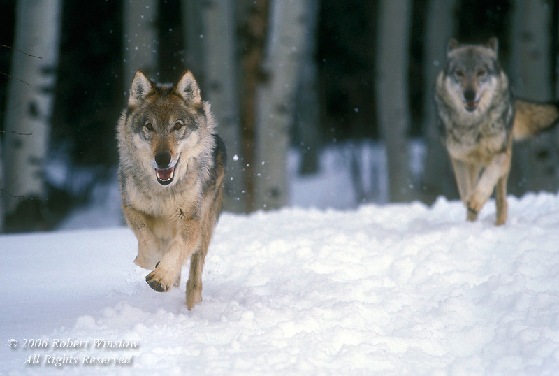 Two Gray Wolves (Canis lupus) Running through Snow toward Camera, Controlled Conditions