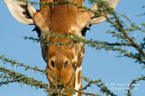 Reticulated Giraffe, Giraffe camelopardalis reticulata, Looking through branches of an Acacia Tree, Samburu National Reserve, Kenya, Africa, Artiodactyla Order, Giraffidae Family