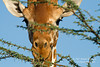 Reticulated Giraffe, Giraffe camelopardalis reticulata, Looking through branches of an Acacia Tree, Samburu National Reserve, Kenya, Africa, Artiodactyla Order, Giraffidae Family