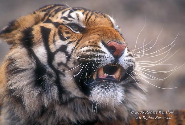 Tiger (Pantera tigris tigris), controlled conditions