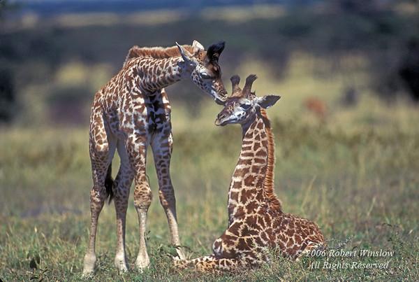 Two Young Masai Giraffes (Giraffe camelopardalis tippelskirchi),  Masai Mara National Reserve, Kenya, Africa