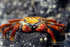 Sally Lightfoot Crab, Grapsus grapsus, Galapagos Islands, Ecuador, Decapoda Order, Garpsidae Family