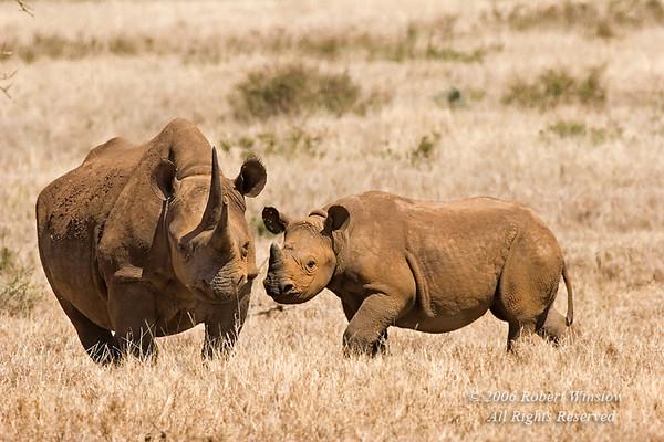 Black Rhinocerous (Diceros bicornis), Lewa Wildlife Conservancy, Kenya, Africa