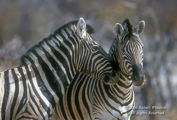Chapman's Zebra, Equus quagga chapmani, Etosha National Park, Namibia, Africa, Perissodactyla Order, Equidae Family