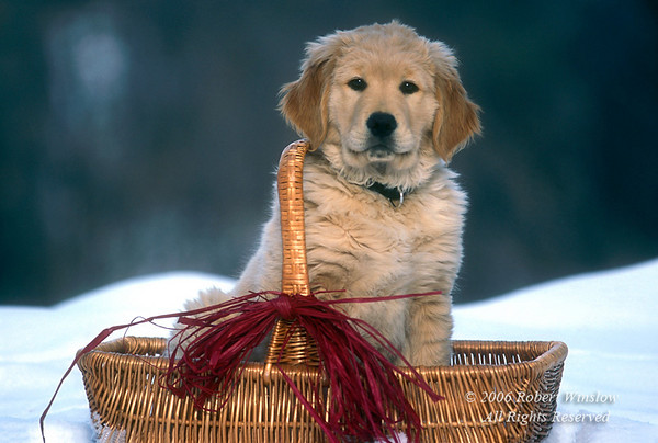 Golden Retriever Puppy in a basket in the snow