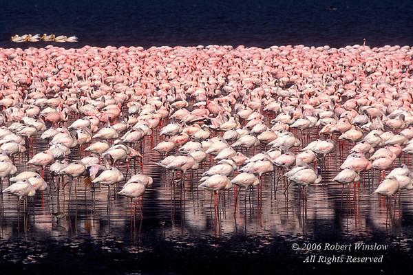 Lesser Flamingos, Phoneniconaias minor, Lake Nakuru National Park, Kenya, Africa, Pelicans in Background