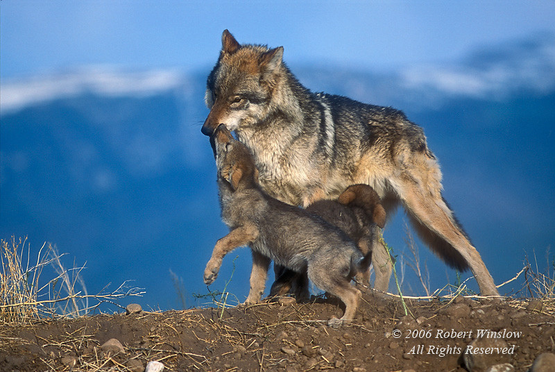 Adult and two Young Gray Wolf Pups (Canis lupus), Controlled Conditions