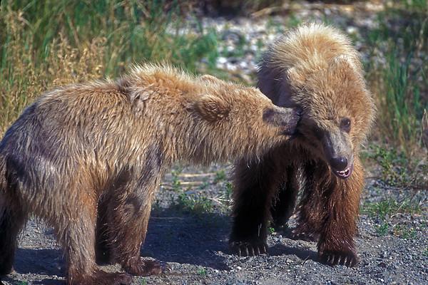 Two Alaskan Brown Bear cubs (Ursus arctos)  Katmai National Park, Alaska, USA, North America