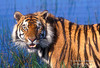 Tiger (Pantera tigris tigris), controlled conditions