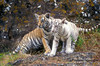 Two Bengal Tiger Cubs (Pantera tigris tigris), controlled conditions