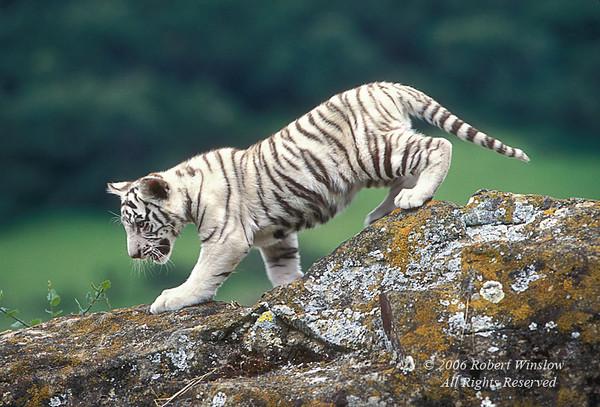 White Tiger Cub (Pantera tigris tigris), controlled conditions