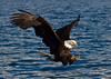 Bald Eagle, Haliaeetus leucocephalus, Flying, Fishing, Kenai Peninsula, Alaska