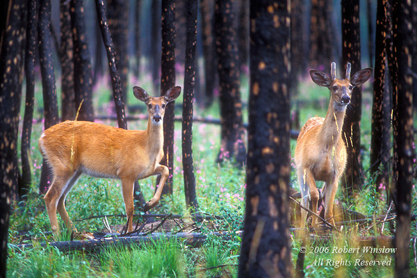 Two White-tailed Deer, Odocoileus virginianus, One year after fire, Glacier National Park, Montana