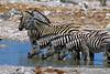 Chapman's Zebra, Equus burchellii antiquorum, Drinking water at a waterhole, Etosha National Park, Namibia, Africa