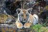 Tiger Cub (Pantera tigris tigris), controlled conditions