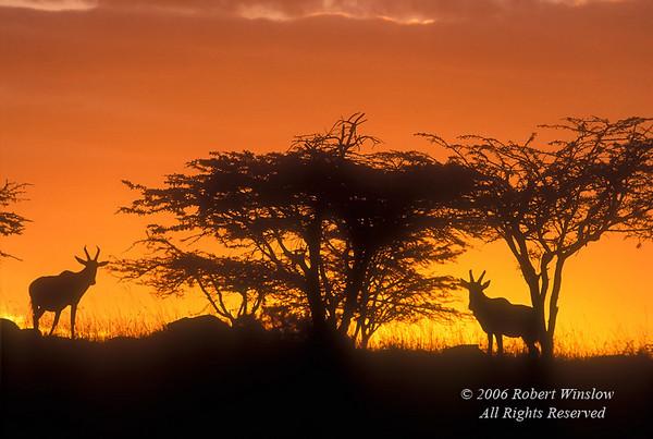 Two Topi at Sunset, Damaliscus lunatus, Masai Mara National Reserve, Kenya, Africa