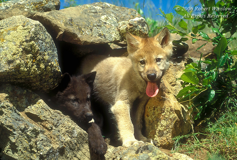 Two Young Gray Wolf Pups at a Den Site (Canis lupus), Controlled Conditions