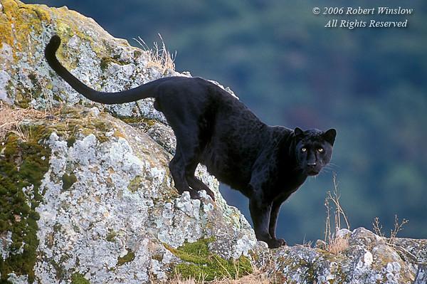 Black Leopard (Panthera pardus melas) on a Rock outcrop, controlled conditions