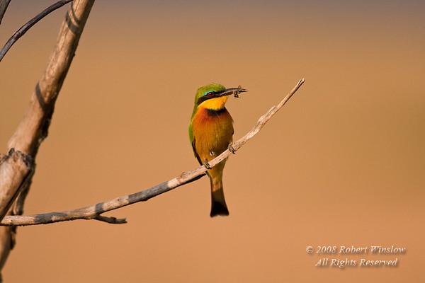 Bee-eater, Little Bee-eater, Merops pusillus cyanostictus, aka Merops pusillus, Masai Mara National Reserve, Kenya, Africa, Coraciiformes Order, Meropidae Family
