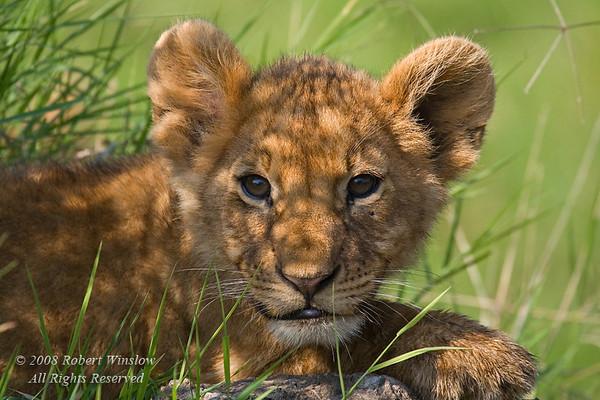 African Lion Cub, Panthera leo, Masai Mara National Reserve, Kenya, Africa