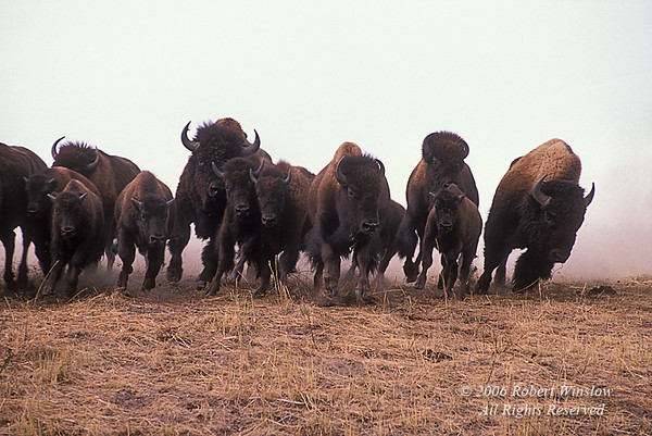 Bison or American Buffalo, Bison bison, Stampede, Round-up, National Bison Range, Montana, (Bison bison)
