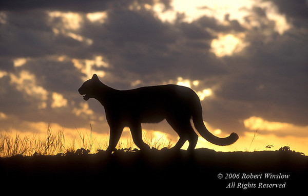 Mountain Lion Silhouetted at Sunrise, Controlled Conditions