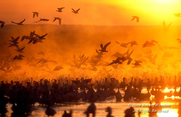 Snow Geese (Chen caerulescens) at Sunrise, Bosque del Apache National Wildlife Refuge, New Mexico, USA, North America