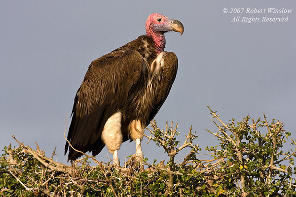 Lappet-faced Vulture, Torgos tracheliotus, or, Torgos t. tracheliotus, Masai Mara National Reserve, Kenya, Africa, Accipitriformes Order, Accipitridae Family, Also called Nubian Vulture