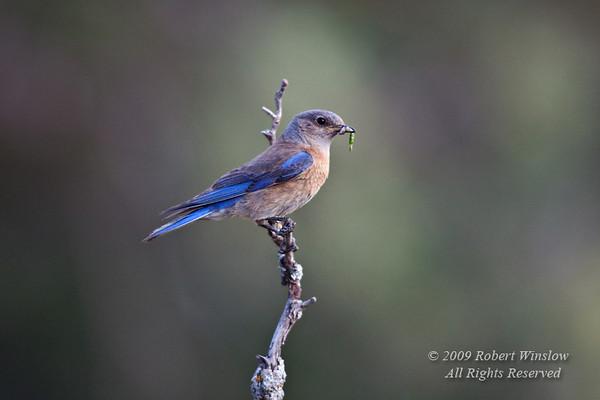 Female Western Bluebird, Sialia mexicana, LaPlata County, Colorado, USA, North America