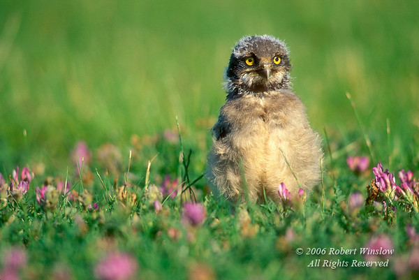 Young Burrowing Owl, Athene cunicularia, Alberta, Canada, controlled conditions