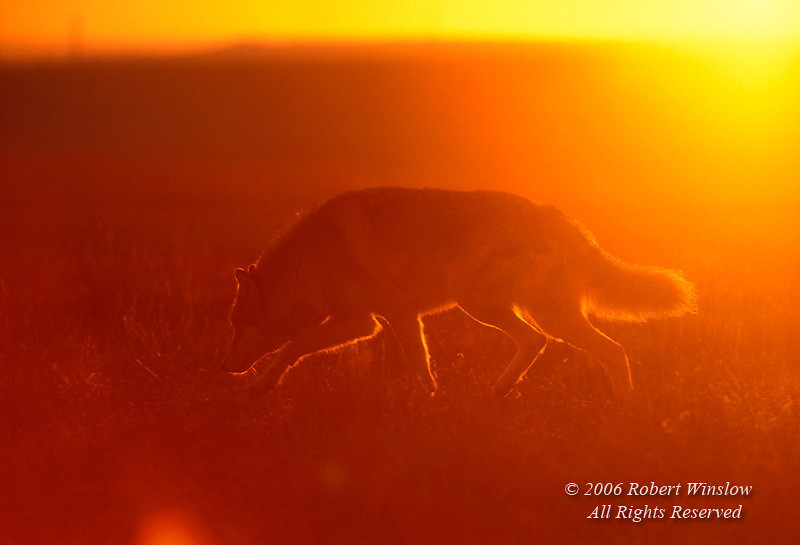 Gray Wolf (Canis lupus), Sunrise, Controlled Conditions