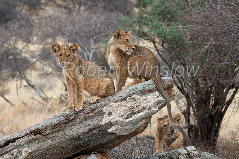 Three African Lion Cubs, One cub stalking another's tail, Panthera leo, Samburu National Reserve, Kenya, Africa