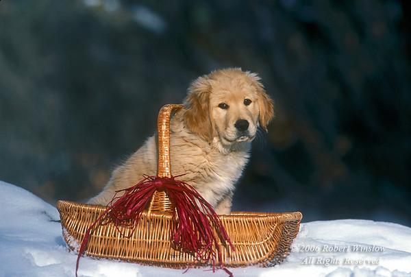 Golden Retriever Puppy in a basket in the snow