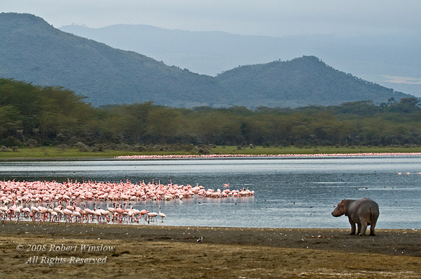 Hippopotamus and Lesser Flamingos Lake Oloidien, Rift Valley, Kenya, Africa
