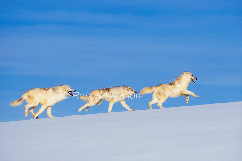 Three Arctic Wolves, Canis lupus arctos,  Running, Snow, Winter, controlled conditions