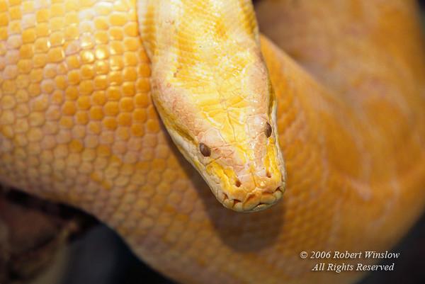 Albino, Burmese Python, Python molurus bivittatus, Native to Southeast Asia, Controlled Conditions