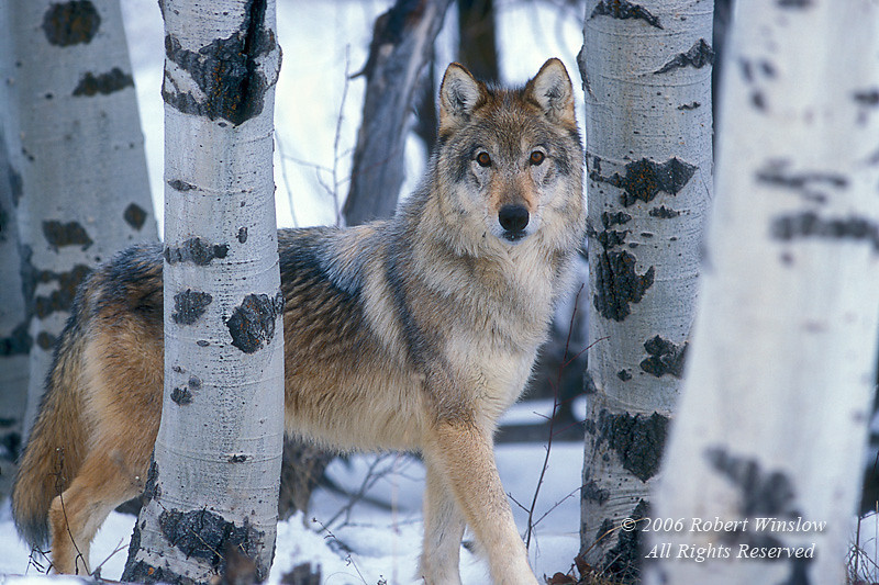 Gray Wolf (Canis lupus) with Snow and Aspen Trees, Controlled Conditions
