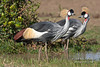 Two Grey Crowned Crane, Balearica regulorum gibbericeps, Ol Pejeta Conservancy, Kenya, Africa