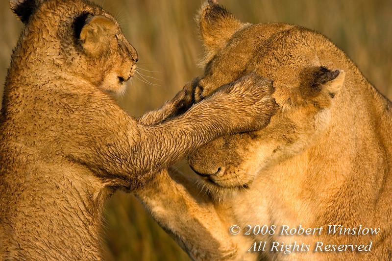 African Lions, Mother and Cub,  Panthera leo, Masai Mara National Reserve, Kenya, Africa