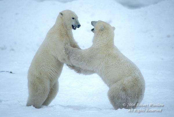 Two Polar Bears, (Ursus maritimus) sparring, Near Churchill, Manitoba, Canada