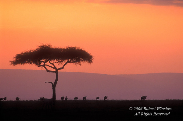 Sunrise, Wildebeests (Connochaetes taurinus), Masai Mara National Reserve, Kenya, Africa